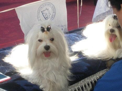 טיפוח שיער תספורת כלבים הכנה לתערוכת כלבים