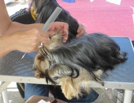כלבים מוכנים לתערוכת כלבים עם תספרת כלבים וסידור שיער במאי דוג