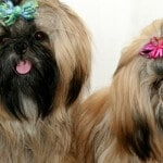ספרות וטיפוח כלבים גזעיים