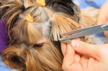 תספורת לכלב עם שיער ארוך