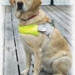 כלב עזר משתלב בטיפול ועזרה לאנשים מוגבלים