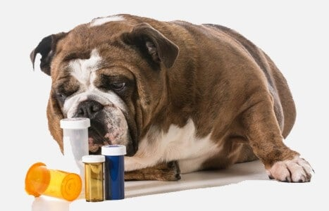 כלב שמטופל בתרופות הומאופתיות נגד השמנה ובעיות כרוניות