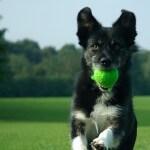 כלב שעבר אילוף אצל מאלף רץ להביא כדור