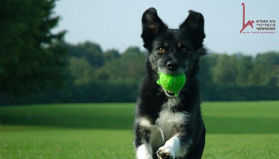 כלב שעבר לימודי אילוף אצל מאלף רץ להביא כדור