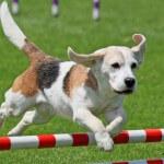 מאי דוג אילוף כלבים כלב קופץ על משוכה