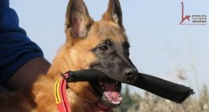 אימון כלב עבודה לשמירה ואבטחה