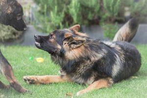 כלב חושף שיניים כלפי כלב אחר בגינת כלבים