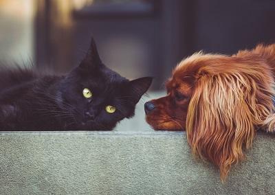 כלב קור ספניאל עם חתול שחור