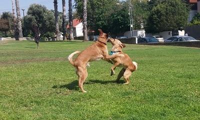 שני כלבים קטנים משחקים בחוץ על דשא