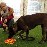 מאלפת כלבים בשיעור עם משחק פזל לכלבים, משחקי פזל לכלבים דורשים הרבה קואורדינציה כדי להגיע לתגמול הרצוי