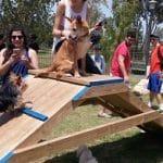כלב לארס ראם וגורים משחקים על מתקן בגינת כלבים