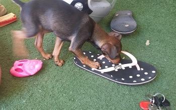 גור כלבים מתעניין בנעל ולידו מפתחות וצעצועים