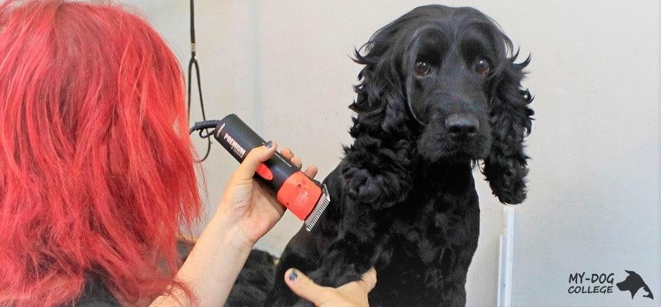 כלב מקבל תספורת ופינוק בבית ספר לספרות כלבים מאי דוג