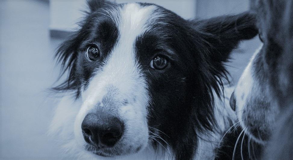 כלב עצוב, סובל מבעיה חרדת נטישה