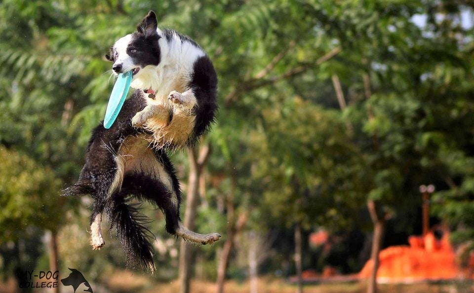 פעילות העשרה חינם לסטודנטים ומאלפי כלבים במאי דוג. כלב משחק פריזבי בפארק