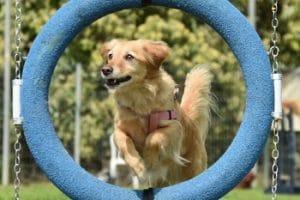 כלב בסדנת ספורט כלבני קופץ דרך חישוק