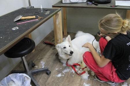 מספרה לכלבים. סטודנט קורס ספרות כלבים מספר כלב לבן