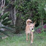 כלב משחק עם כדור על דשא, שיעור אילוף כלבים. לארס ראם