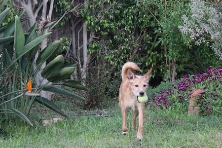 כלב בית לארס ראם נהנה מטיול ומשחק בצל ובגינה