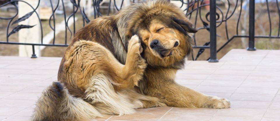 כלב מתגרד, טיפול בפרעושים וקרציות