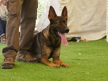 כלב רועה גרמני שוכב ליד רגלי המאלף שלו