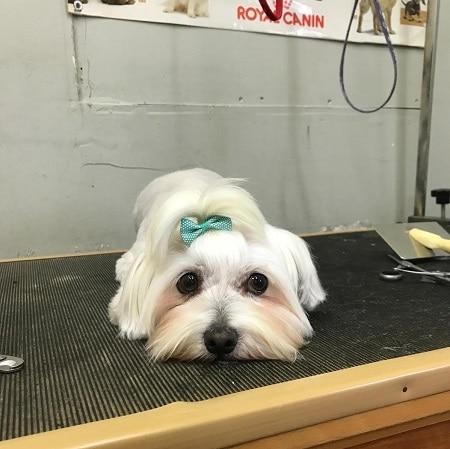 כלב מסוג מלטז, בעל שיער ארוך, ספרות כלבים