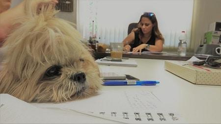 שולחן ישיבות במשרד עם כלב