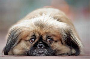 כלב פקינז, שוכב. הכלב הכי נפוץ בישראל.