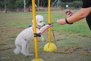 כלב קטן מתאמן על קפיצה מעל משוכה