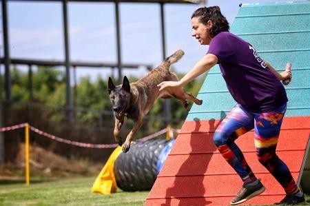 ספורט כלבני-כלב יורד ממשוכה בשיפוע וקפיצה