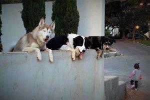 3 כלבים נשענים על גדר ומסתכלים החוצה וילדה הולכת ברחוב