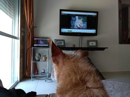 כלב צופה בטלויזיה בסרטון לימודי אילוף של מאי דג