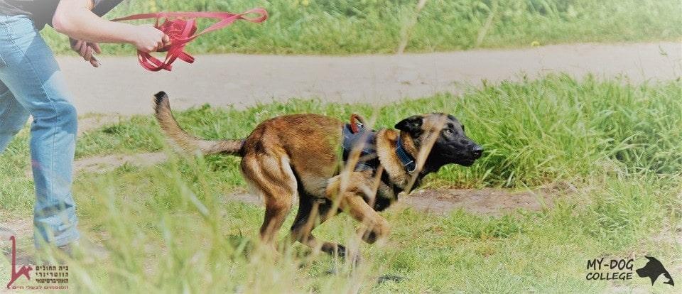 כלב רץ יחד עם מאלף כדי להגיע למטרה