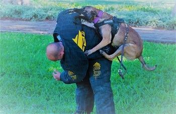 כלב שמירה קופץ על פולש בשיעור מעשי קורס מאי דוג