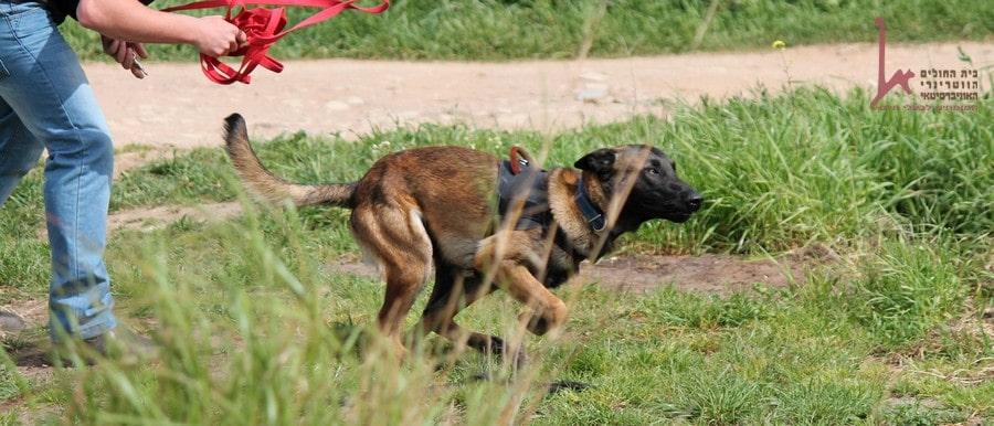 שיעור אילוף כלבי עבודה בטבע, כלב רץ